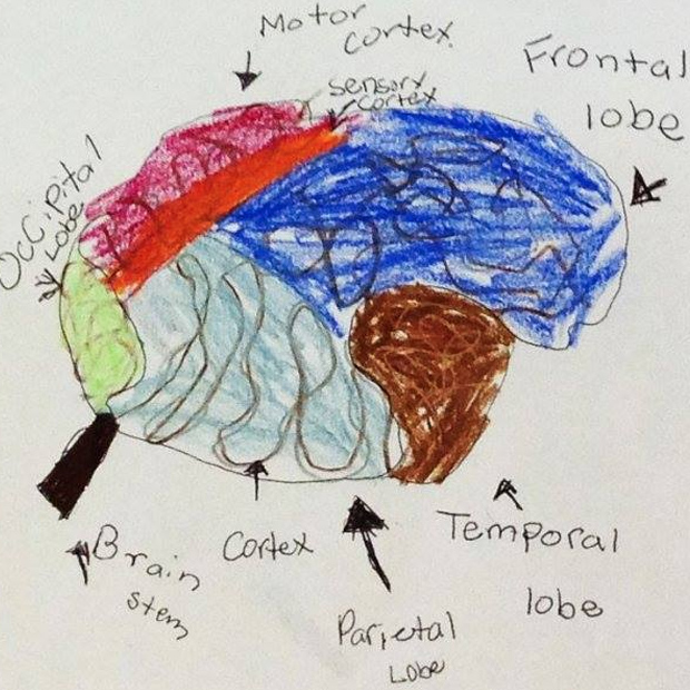 Child's drawing of the parts of the brain