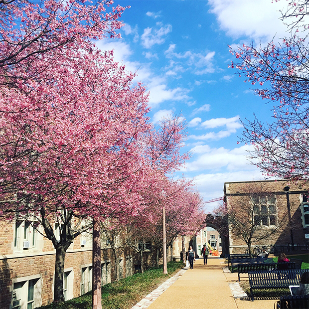 Blossoming trees on WashU's Danforth Campus