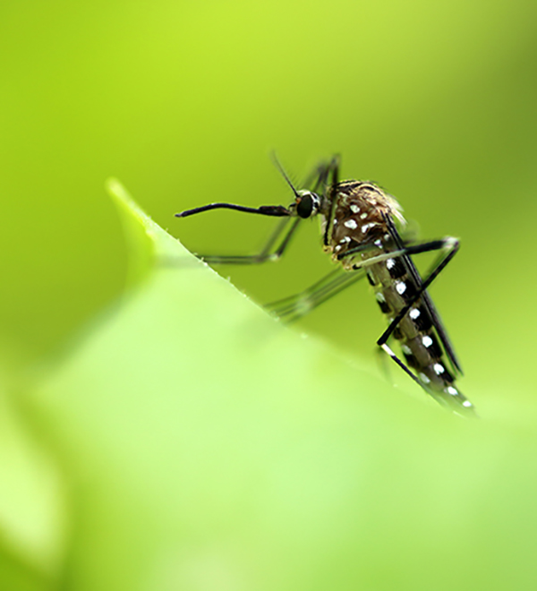 Asian rockpool mosquito