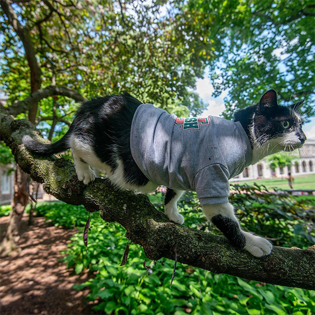 Black and white cat wearing a WashU t-shirt standing on a tree branch