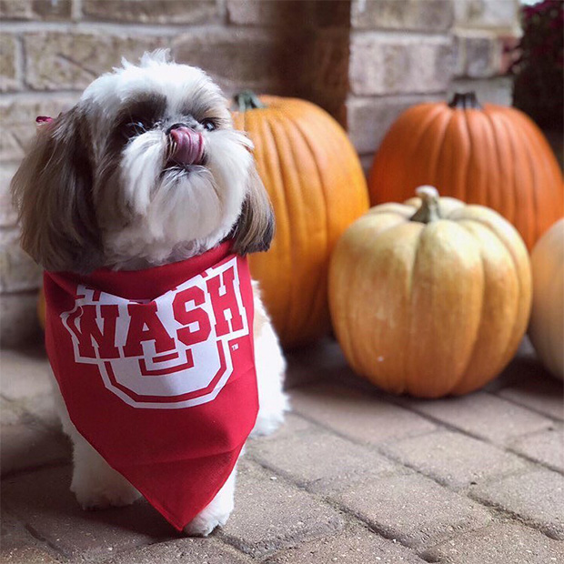 Shih tzu dog licks her nose while wearing a WashU bandana and standing in front of pumpkins